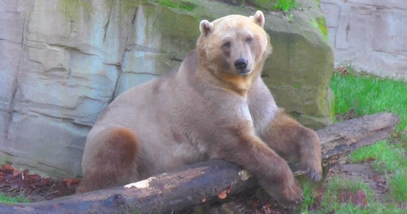 Grolar Bear — Extinction By Any Other Name | by Veer Mudambi | Medium